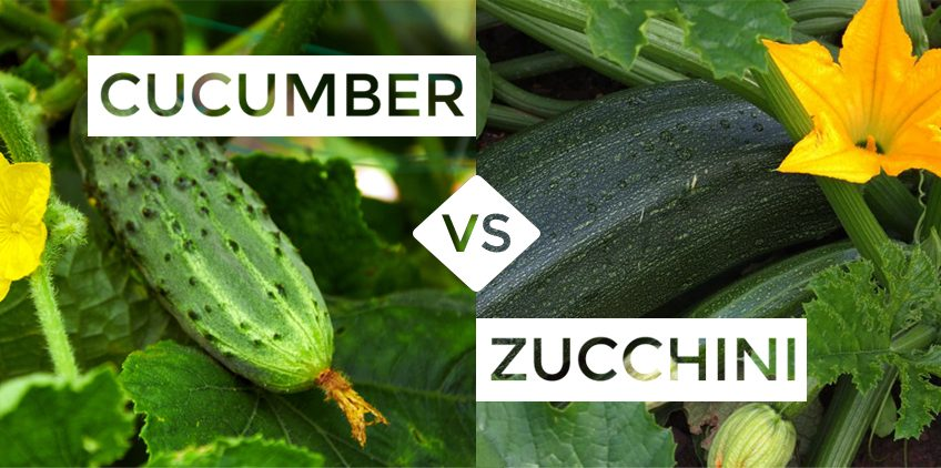 What is the Difference between a Cucumber and Zucchini?