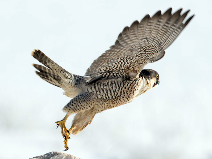 what s the difference between a hawk and a falcon